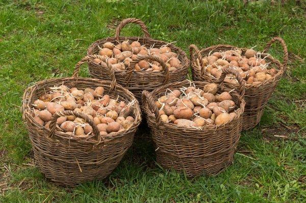 Россия может запретить ввоз картофеля из Белоруссии