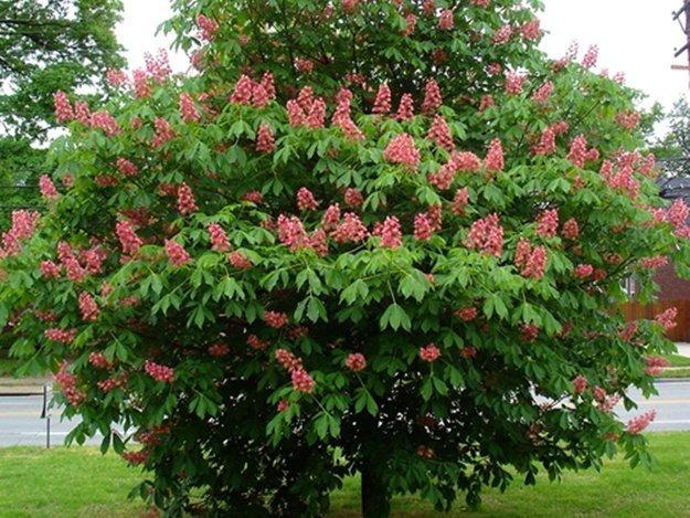 Киевляне выбрали, какие деревья будут расти на Крещатике
