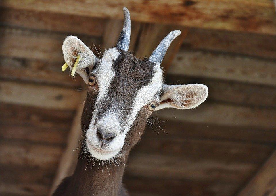 Живой рогатый скот из Украины уже можно продавать в Саудовскую Аравию