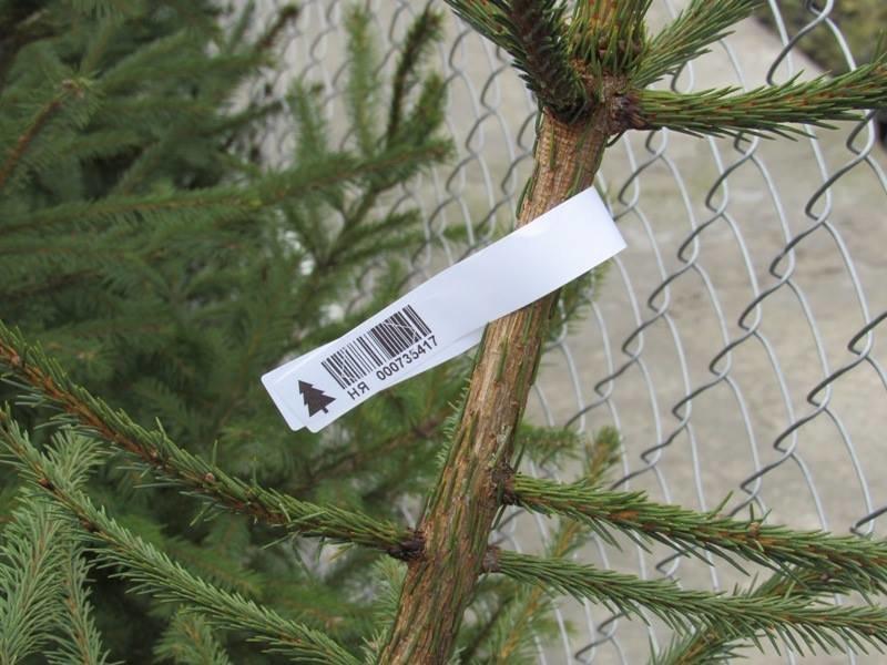 К Новому году лесхозы готовы продать 500 тыс. елок